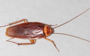18 art wiki C American-cockroach