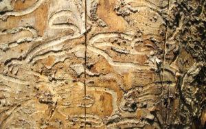 The emerald ash borer creates noticeable, wavy burrow lines, eventually killing the ash tree it calls home.